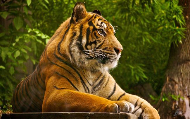 Imagem de tigre como um lindo papel de parede