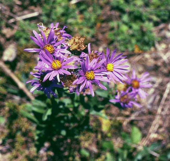 美しい紫色のヘザーの花