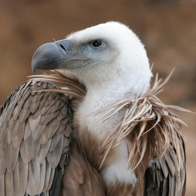 Imagens de abutres egípcios como um lindo papel de parede