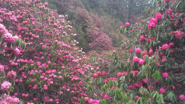 Coleção das mais belas flores de azálea da floresta