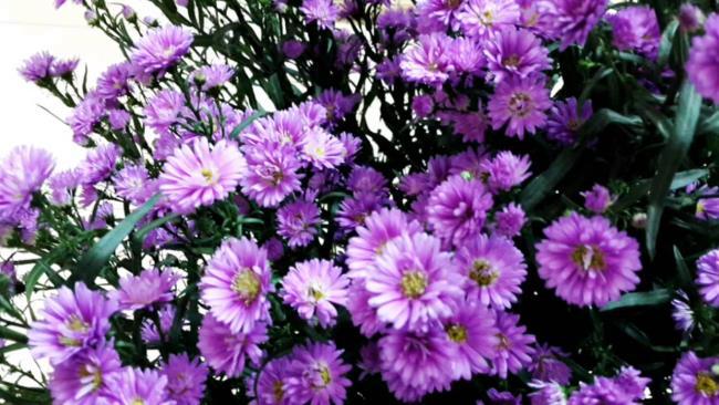 Красивые фиолетовые цветы вереска