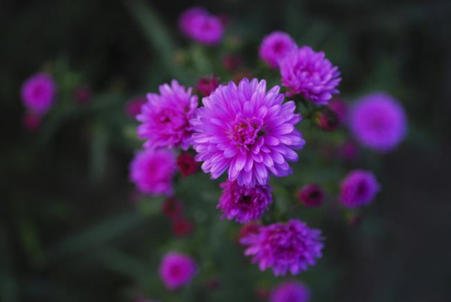 Красивые розовые цветы вереска