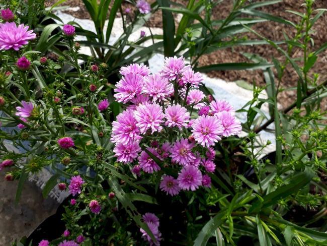 美しいピンクのヘザーの花