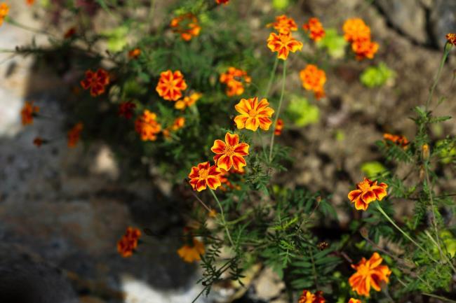 Собирая изображения самых красивых диких хризантем