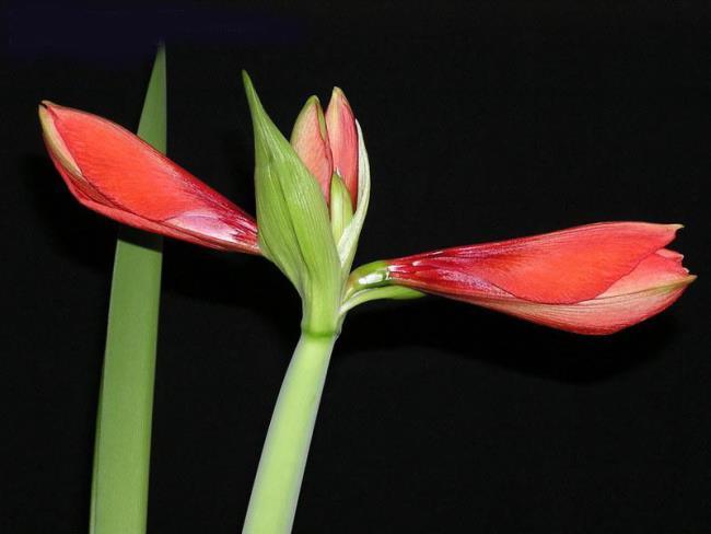 ملخص أجمل زنبق أحمر