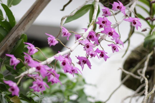 Schöne lila Orchideenbilder 4