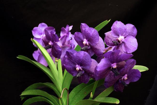 Schöne lila Orchideenbilder 6