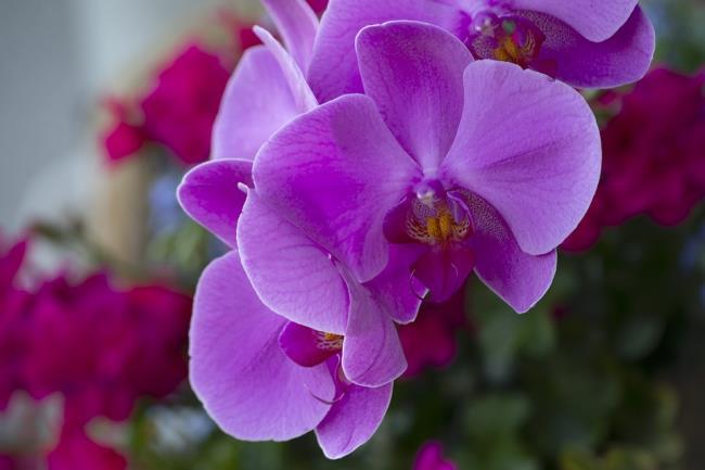 Schöne lila Orchideenbilder 8