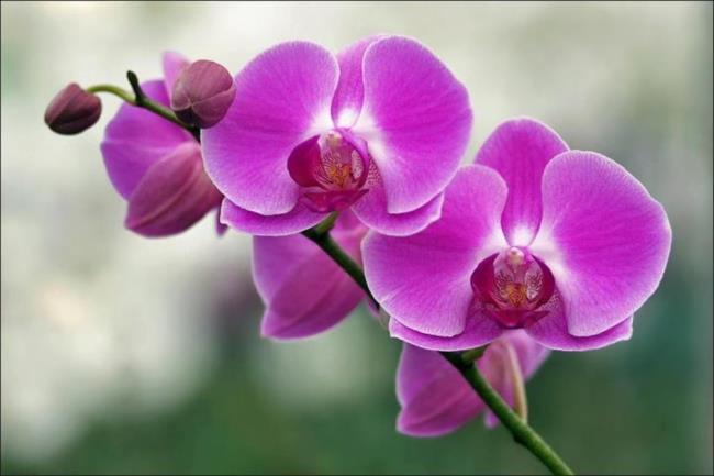 Schöne lila Orchideenbilder 10