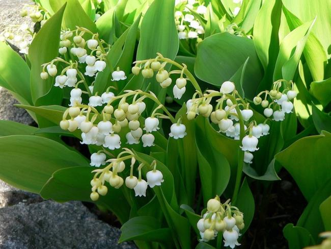 Die schönen Orchideenglockenbilder 11