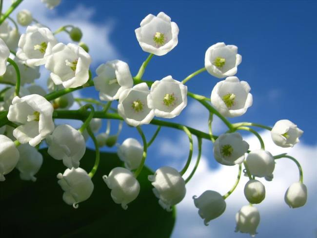 Schöne Glockenorchideenbilder 15