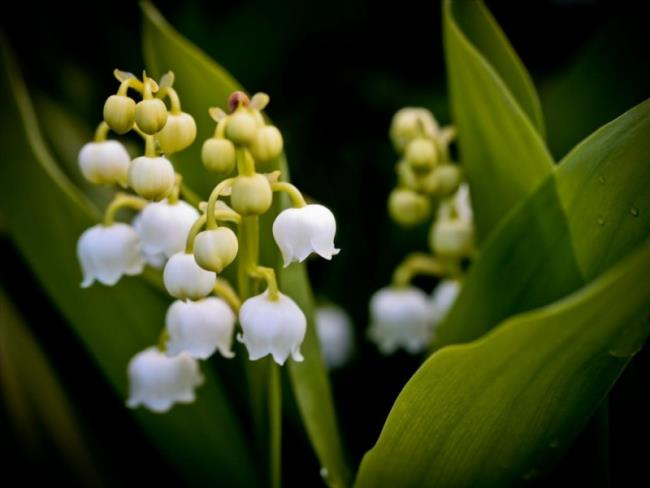 Die schönen Orchideenglockenbilder 16
