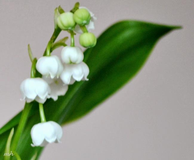 Schöne Orchideenglockenbilder 20