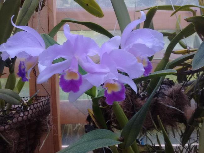 Schöne Waldorchideenbilder 31