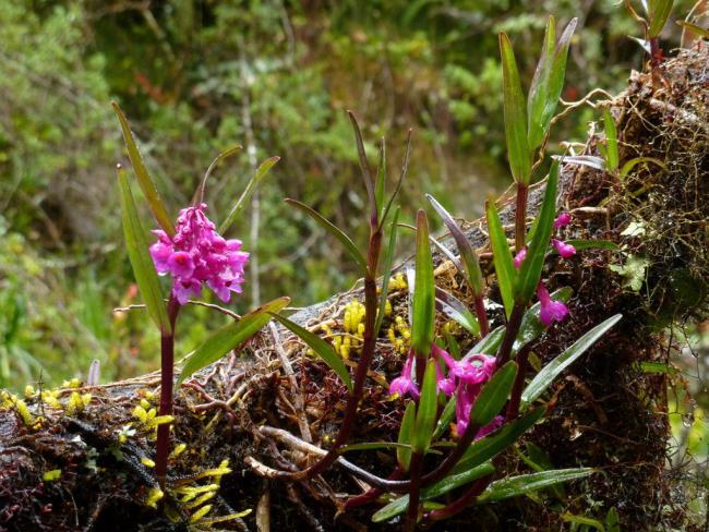 Schöne Waldorchideenbilder 37