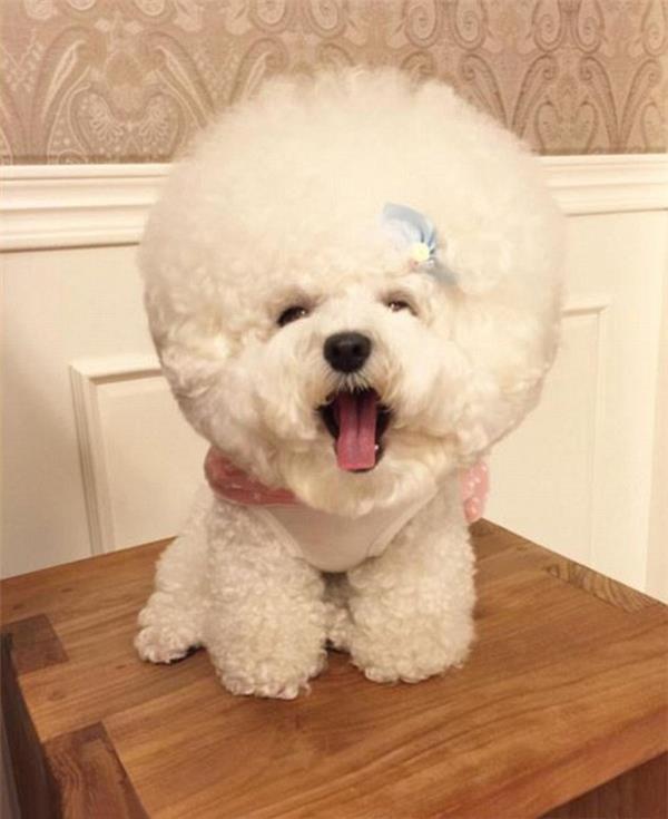 Sinteza celui mai frumos câine Bichon Frize