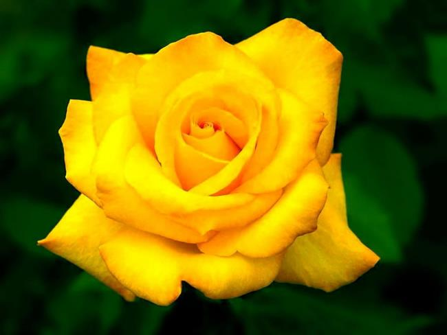 Top 50 most beautiful yellow wallpaper images
