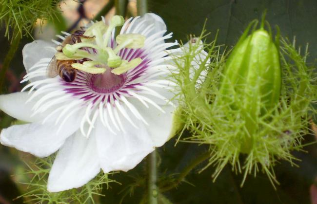 Combining images of the most beautiful passion flower
