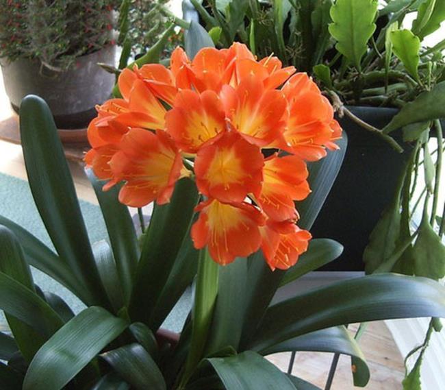 Bilder von schönen Militärorchideen 51