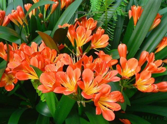 Schöne Armee Orchideen Bilder 53