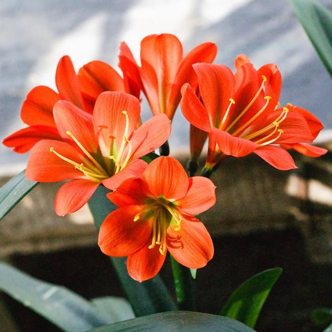 Die schönen Armee Orchideen Bilder 56
