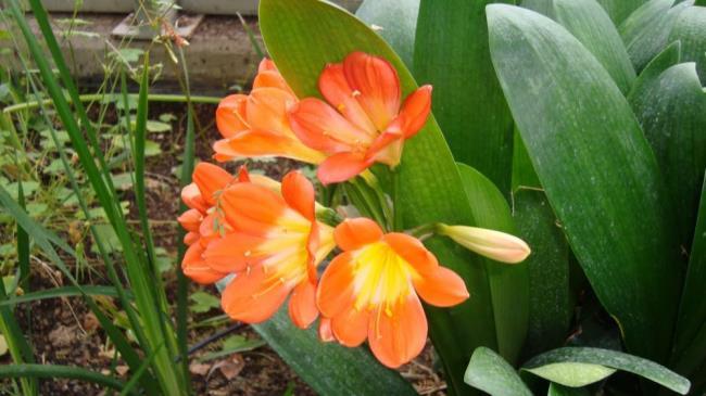 Die schönen Armee Orchidee Bilder 57