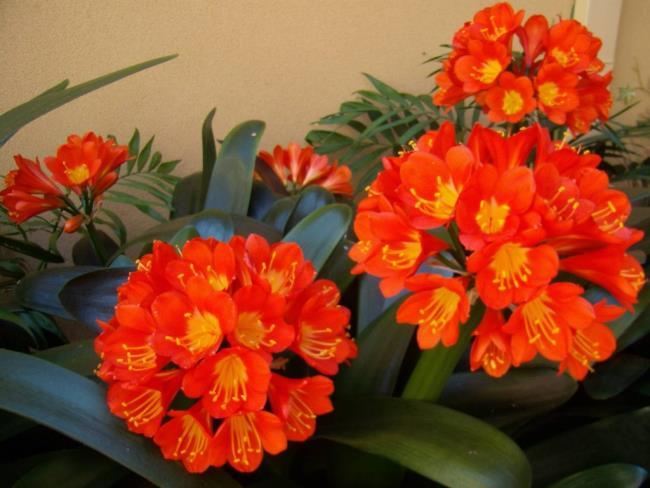 Bilder von schönen Militärorchideen 59