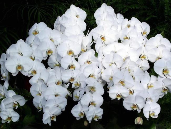 Das schöne weiße Orchideenbild 62