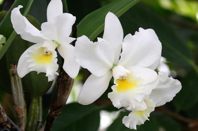 Die schönen weißen Orchideen Bilder 64