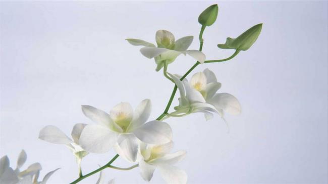 Schöne weiße Orchideenbilder 65