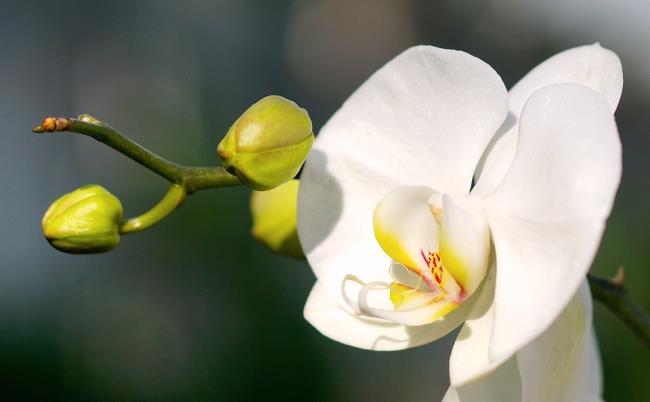 Das schöne weiße Orchideenbild 66