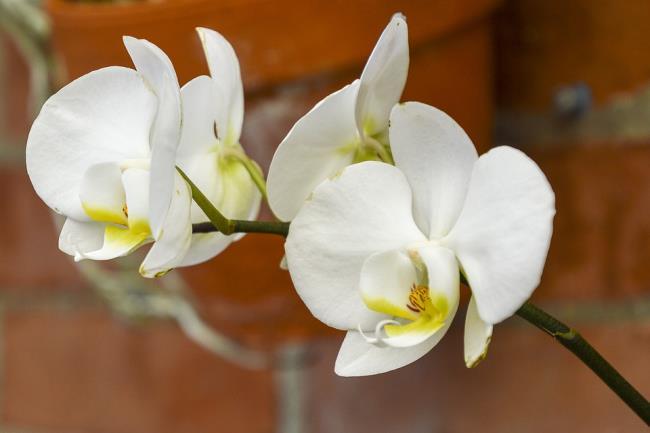 Schöne weiße Orchideenbilder 67