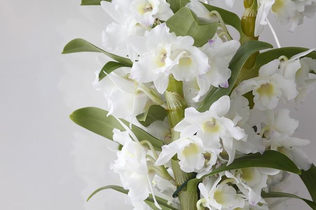 Das schöne weiße Orchideenbild 68
