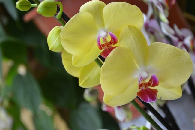 Das schöne gelbe Orchideenbild 71