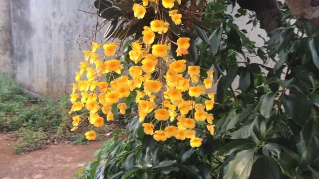 Die schönen gelben Orchideen 72