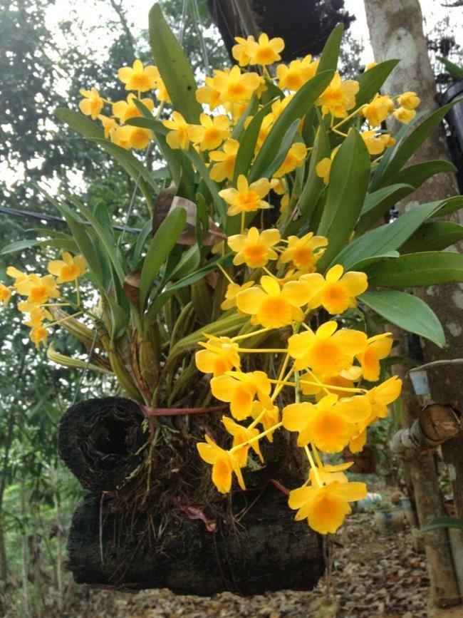 Die schönen gelben Orchideenbilder 73