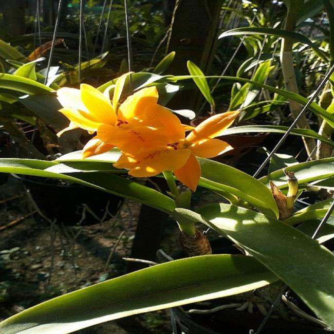 Die schönen gelben Orchideen 74