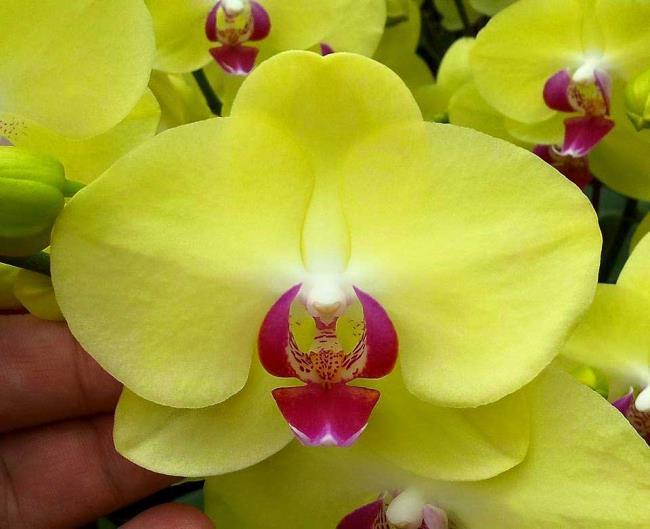 Das schöne gelbe Orchideenbild 75