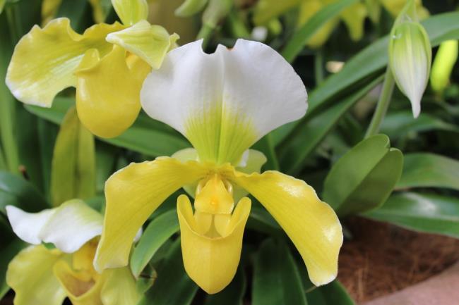 Das schöne gelbe Orchideenbild 77