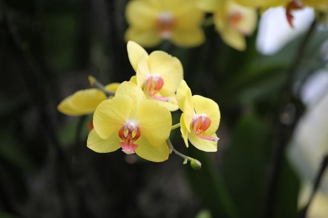 Die schönen gelben Orchideen 79