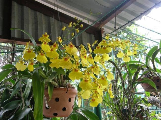 Die schönen Tänzer Orchideen 82