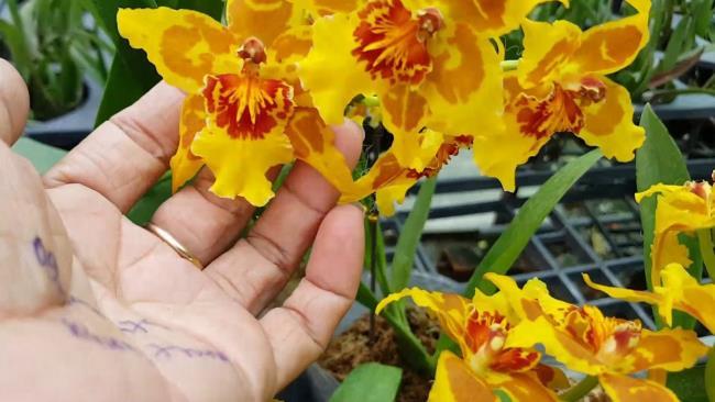 Die schöne Tänzerin Orchideen 83
