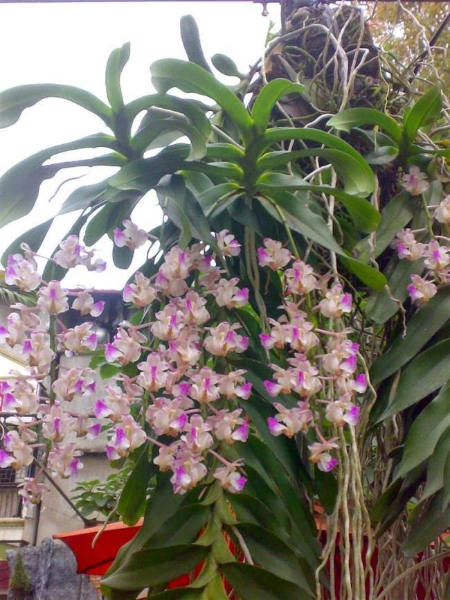 Die Schönheitsorchidee Bild drei Schönheit 86