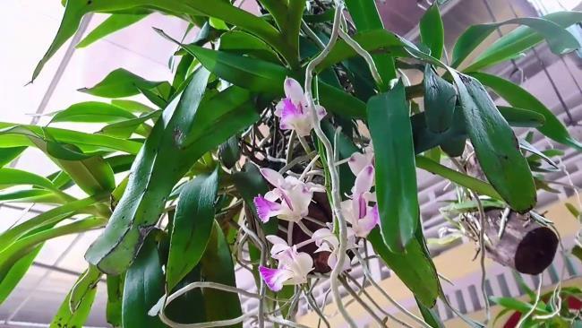 Die Schönheitsorchidee Bild drei Schönheit 87