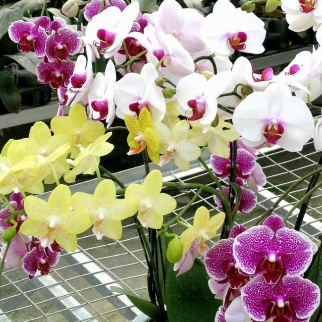 Die schönen Orchideenbilder 95