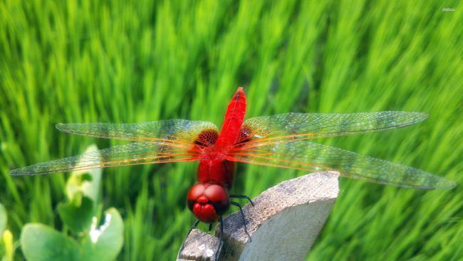 सबसे सुंदर ड्रैगनफली छवियों का संग्रह