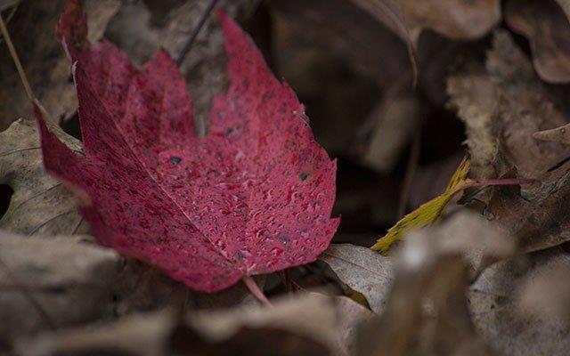 सबसे सुंदर लाल मेपल के पत्तों का सारांश