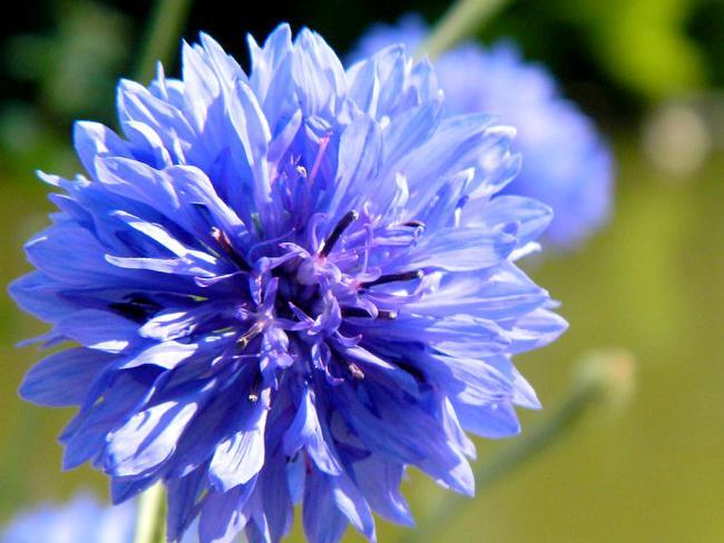Koleksi Gambar Bunga Aster Yang Paling Indah