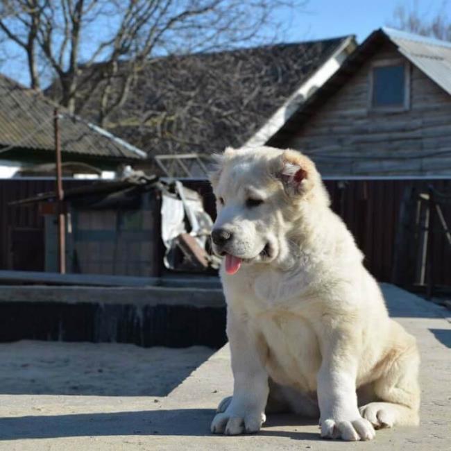 सबसे सुंदर अलाबाई कुत्ते का सारांश