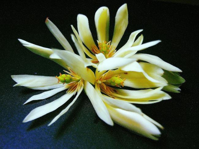 Utilizări de ylang ylang în tratarea bolilor